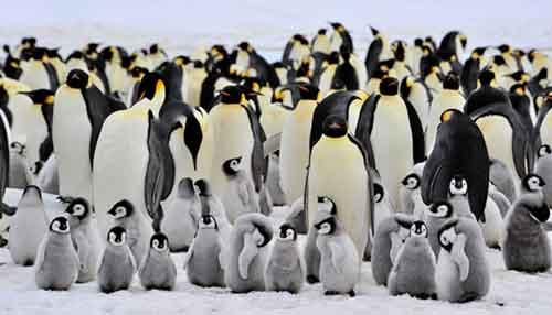 Alimentación de los Animales en Peligro de Extinción Pingüino