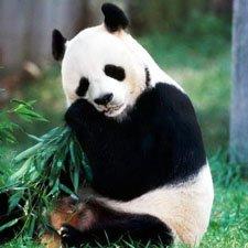 AnImales en Peligro de Extinción Oso Panda