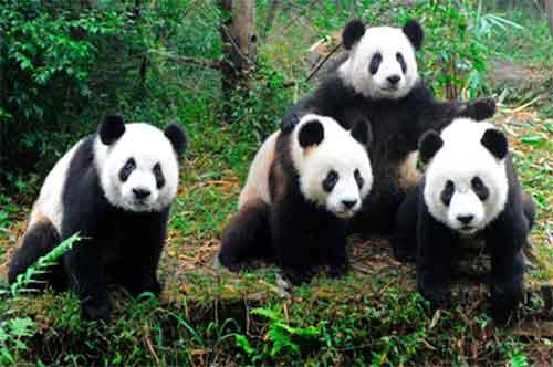 Animales en Peligro de Extinción Osos Panda