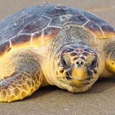 AnImales en Peligro de Extinción la Tortuga