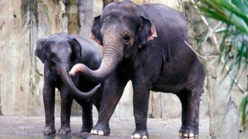 Elefante Asiático en Peligro de Extinción