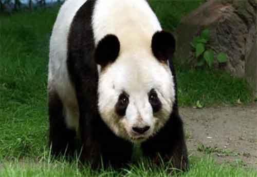Información de los Animales en Peligro de Extinción Oso Panda