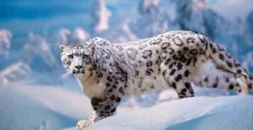 Leopardo de las Nieves en Peligro de Extinción Asia