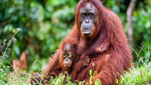 Orangután Animal en Peligro de Extinción Cambio climático