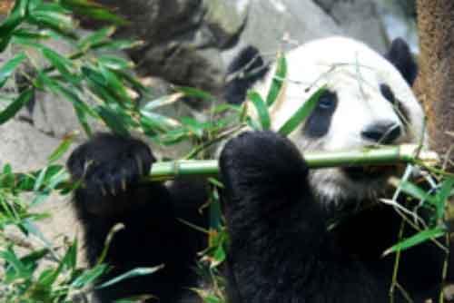 Oso Panda en Peligro de Extinción Asia