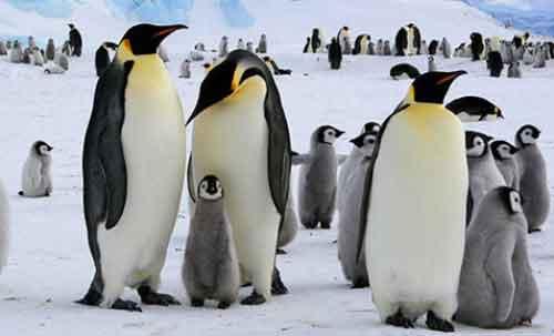 Pingüino Emperador en Peligro de Extinción
