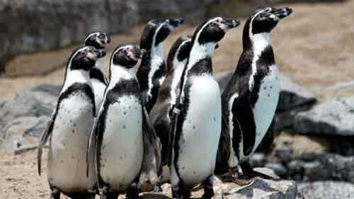 Pingüino Humboldt en Peligro de Extinción