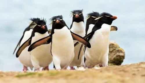 Pingüino Penacho Amarillo en Peligro de Extinción