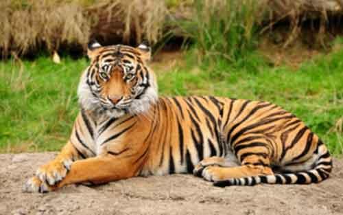 Tigre en Peligro de Extinción Asia