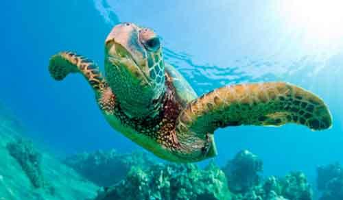 Tortuga Marina Animal en Peligro de Extinción Cambio climático