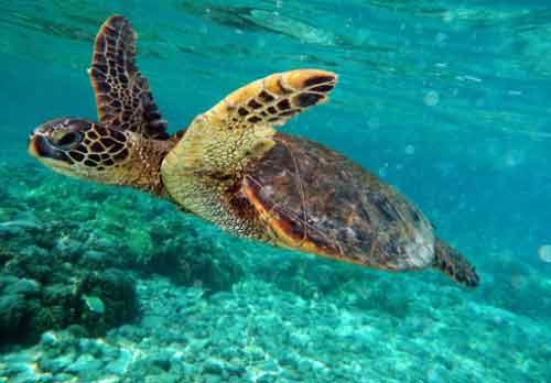 Tortuga Marina Verde en Peligro de Extinción